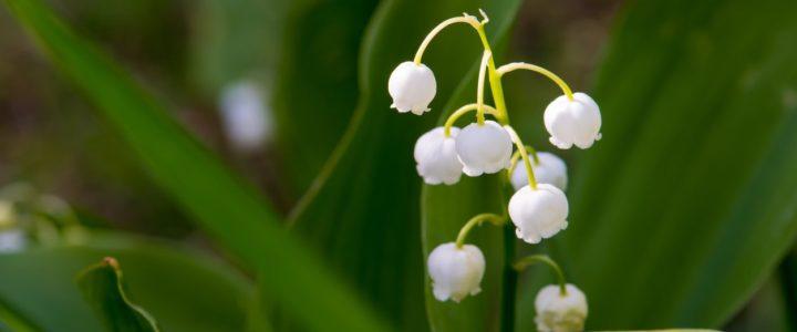 Berikut Manfaat Bunga Lily Of The Valley Buah Kesehatan!