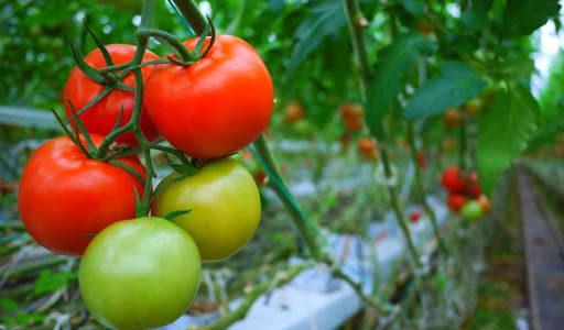 Manfaat Tomat Untuk Kecantikan, Bisa Bikin Awet Muda Juga