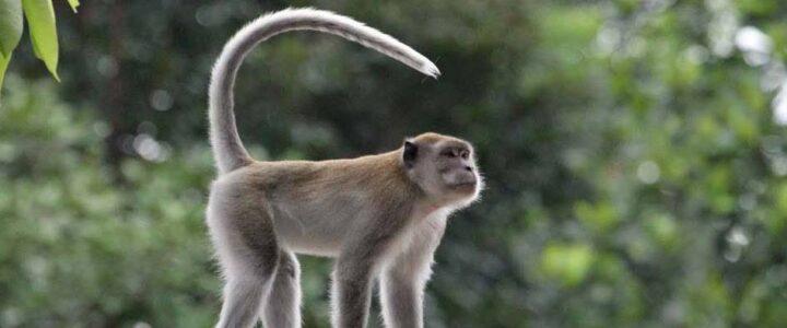 Cara Menjinakkan Monyet Liar Untuk di Pelihara